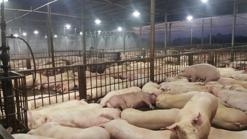 Kiểm tra chặt việc giết mổ lợn sau vụ tiêm thuốc an thần