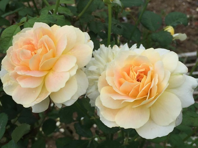 Ban công nhỏ xinh thơm ngát hoa hồng của của ông bố trẻ