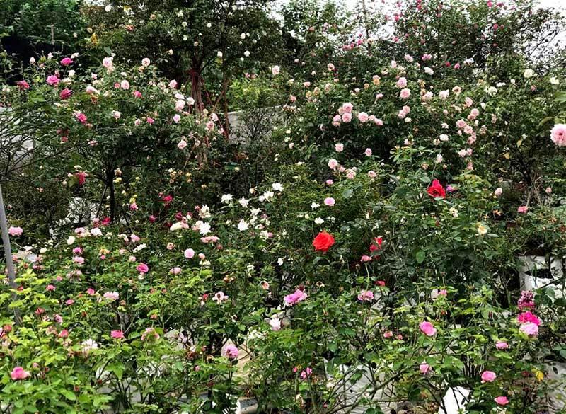 vườn hồng,vườn hồng đẹp,trồng hoa hồng,hoa hồng,thu chơi hoa hồng