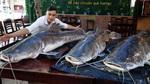 Ba con cá lăng nặng 280kg 'bay' từ Campuchia về Đà Nẵng