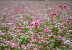 'Check-in' cánh đồng hoa tam giác mạch nở sớm nhất Tây Bắc