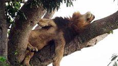 Sư tử trèo cây tài tình, nằm phè phỡn trên cao vì… sợ côn trùng