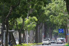 Hàng cây trăm tuổi giữa Sài Gòn bị đốn hạ, di dời để làm cầu