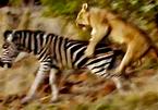 Ngựa vằn gục ngã sau cú vồ sấm sét của sư tử