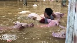 Trại lợn gần 4000 con bị xóa sổ sau ngập lụt