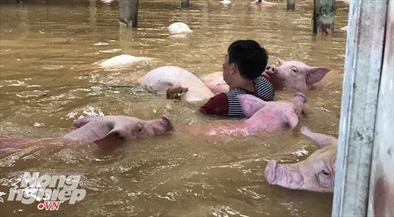 giải cứu thịt lợn, chăn nuôi lợn