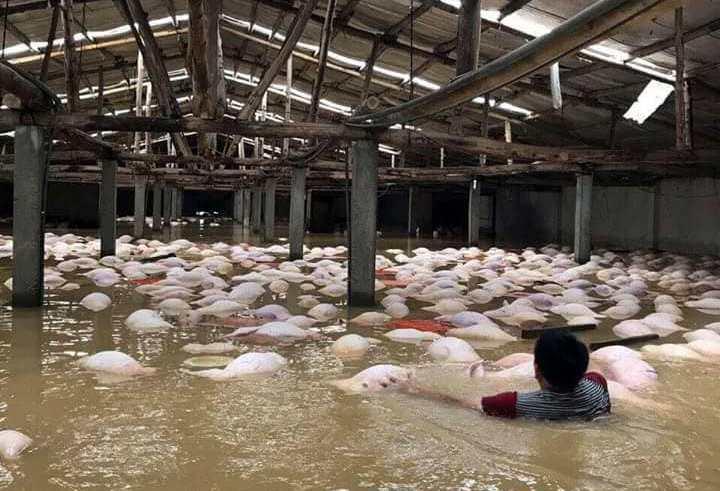 Lũ lụt ở Thanh Hóa, mưa lũ, ngập lụt ở Thanh Hóa, 4000 con lợn