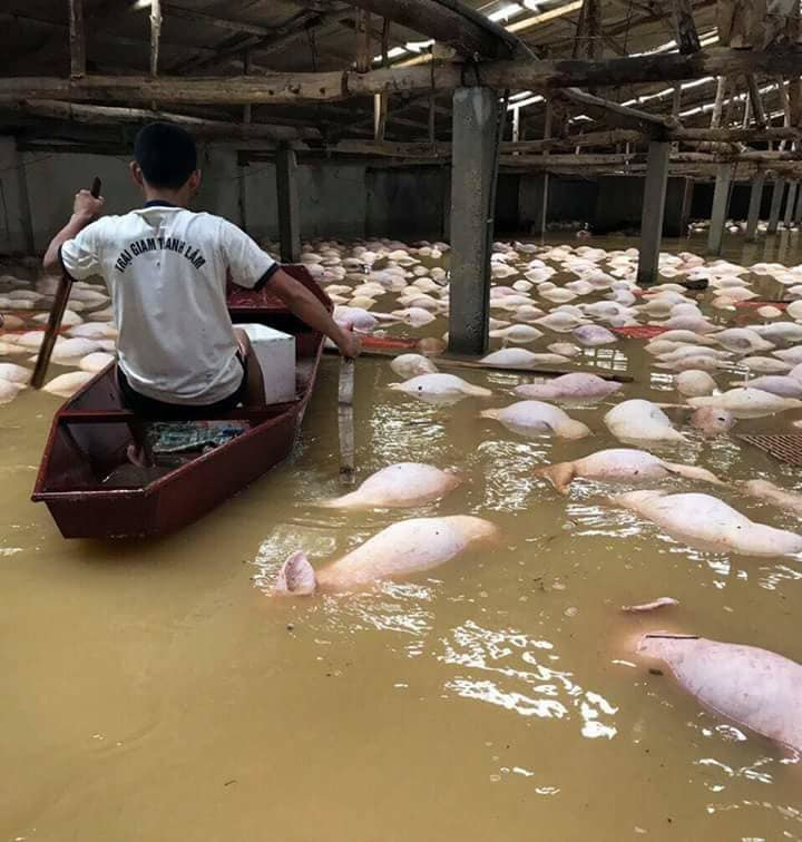 Chết đứng nhìn 4.000 con lợn chết trong nước lũ