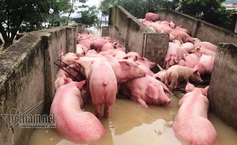 4.000 lợn chết: Thêm ngàn con chết như ngả rạ