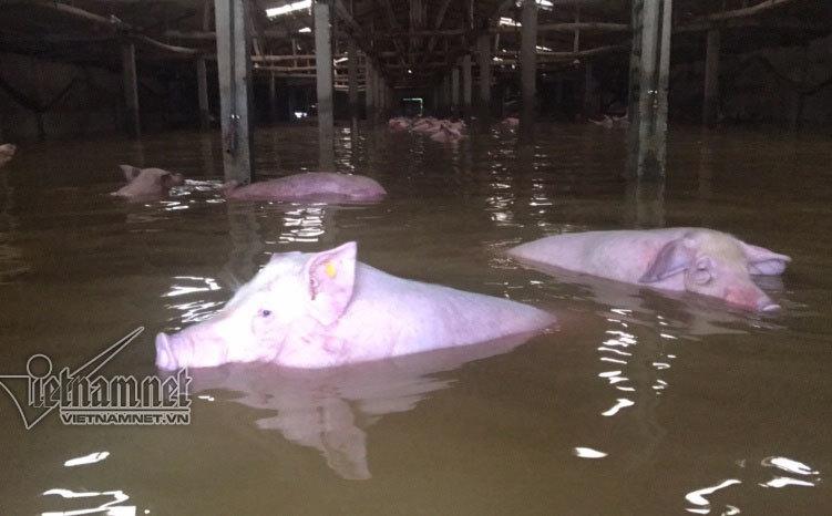 Lũ lụt ở Thanh Hóa, ngập lụt ở Thanh Hóa, mưa lũ, lợn chết, 4000 con lợn, lũ lụt