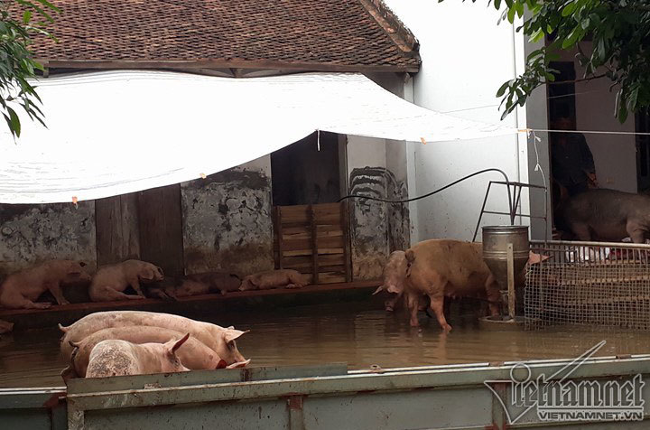 vỡ đê, lũ lụt, lũ lụt ở Hà Nội, mưa lũ, ngập lụt ở Hà Nội, vỡ đê Chương Mỹ
