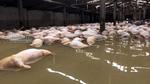 5.000 con lợn chết đang phân huỷ, chưa tìm được chỗ chôn