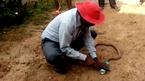 Người đàn ông bất chấp nguy hiểm giải cứu rắn độc hổ mang chúa