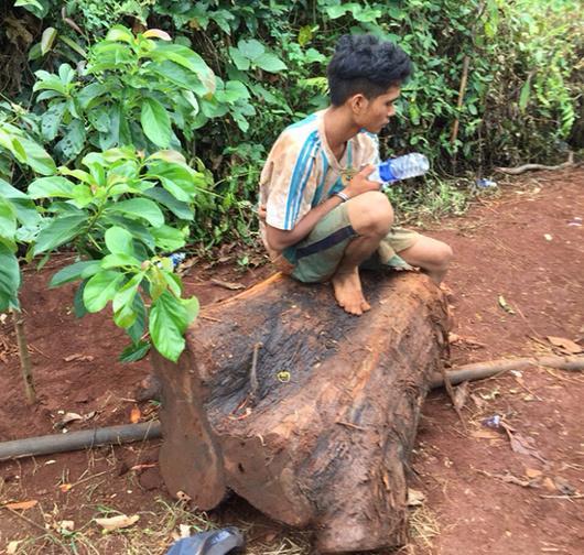 Cây thủy tùng quý hiếm trên 500 tuổi bị chặt hạ trong đêm mưa