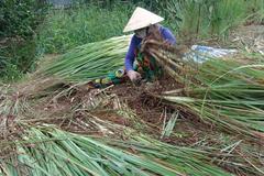 Giá sả rớt kỷ lục còn 2.000 đồng/kg, nông dân đốt bỏ cả vườn