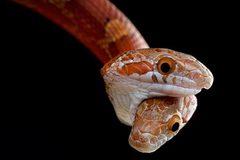 Kị dị 2 đầu trên một thân rắn cắn lẫn nhau tranh thức ăn