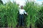Trung Quốc khoe lúa cao lút đầu người, sản lượng gấp rưỡi