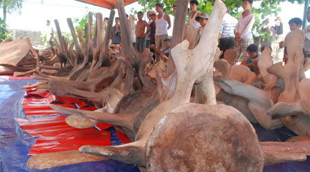 Southeast Asia's largest whale skeleton to be restored