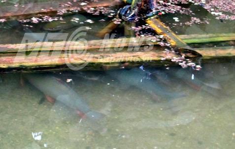 Săn 'cá thần' trăm tuổi làm thịt ở Hà Giang