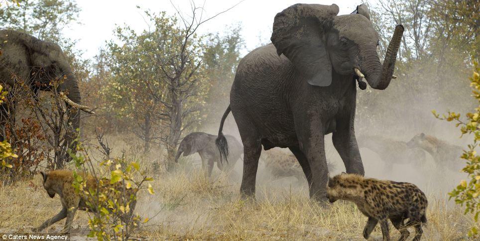 voi, linh cẩu, hỗn chiến, tấn công, bảo vệ con