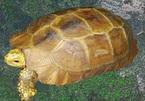 Rộ tin bắt được rùa vàng, bán 300 triệu đồng