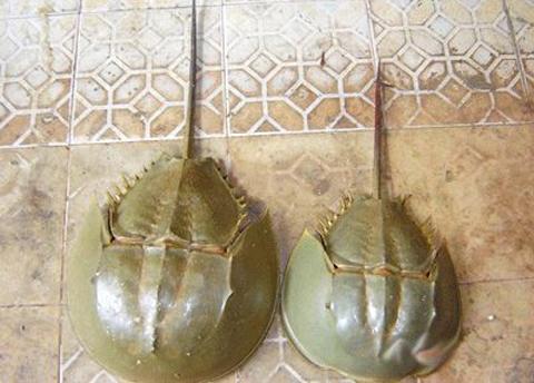 Việt Nam Xanh - Đặc sản biển kỳ dị trên bàn tiệc (Hình 5).