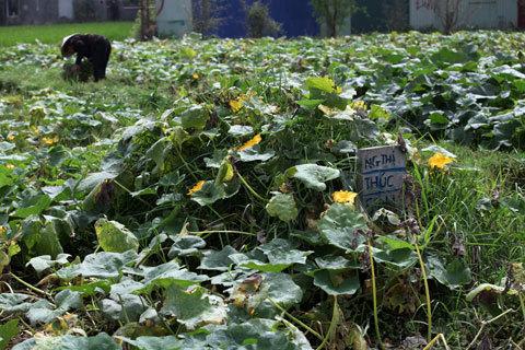 bí đỏ, mộ, nghĩa trang, trồng bí, rau bí, nghĩa địa, an toàn thực phẩm,
