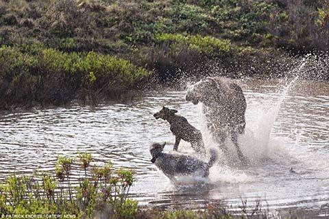 nai sừng tấm, sói, bảo vệ, con, chiến đấu