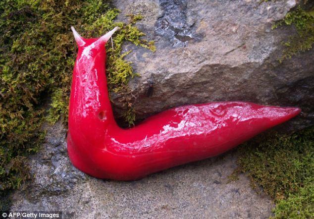 Phát hiện loài sên đỏ như máu ở Australia