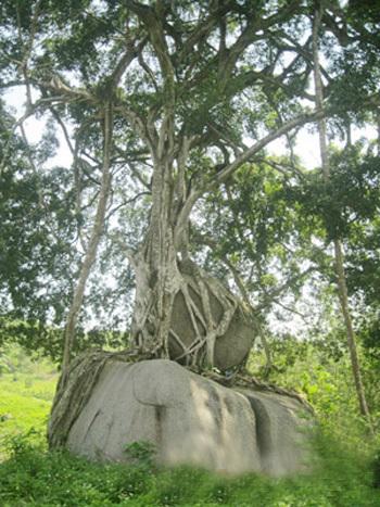 cây xanh, mâm xôi con gà, độc nhất vô nhị, ngàn năm tuổi, đại gia, Kẻ Mui, Giai Nhân, Tân Kỳ
