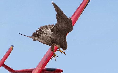 chim cắt, tấn công máy bay, liều mình, động vật, hình ảnh đẹp