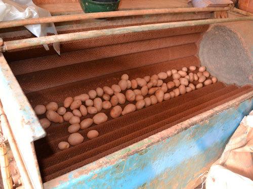 Nhuộm khoai tây TQ thành Đà Lạt bằng... máy