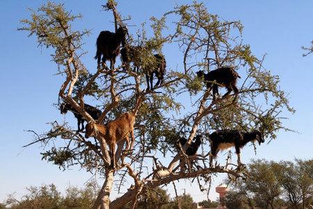 dê, kiếm ăn, ngọn cây