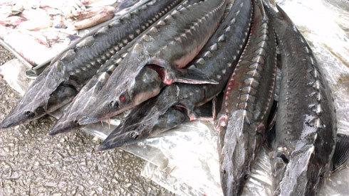 Hà Nội: Phát hiện cá tầm, cá quả nhiễm chất cấm