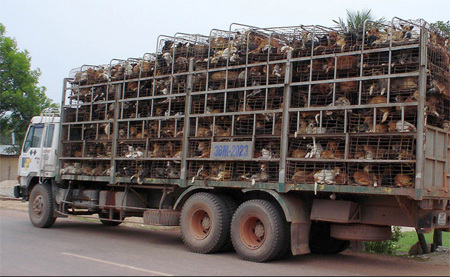 Những cung đường chó lậu từ Thái Lan về Việt Nam