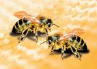 Khách nước ngoài bị ong đốt chết tại Đà Nẵng