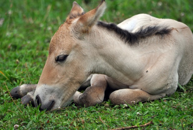 Con ngựa hoang đầu tiên ra đời nhờ thụ tinh ống nghiệm