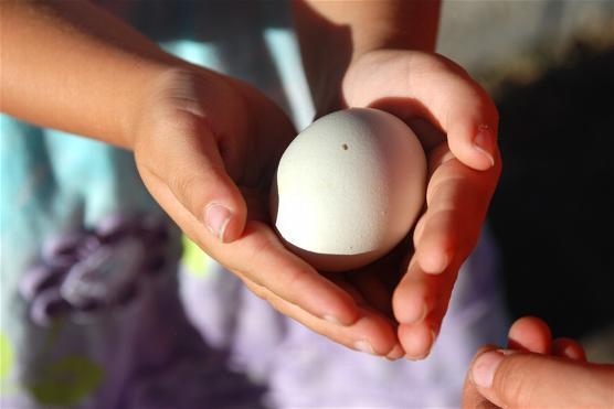 gà, biến đổi gen, đẻ trứng màu xanh