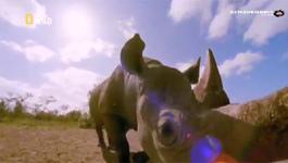 Sư tử đực cứu tê giác con giữa bầy linh cẩu