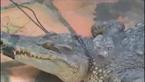 Cá sấu lạ đột nhiên xuất hiện trên đồng lúa