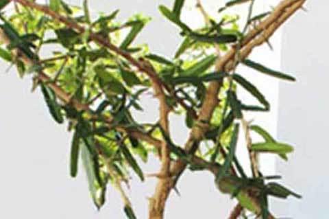 cây thần kỳ, cây thảo dược, chữa bệnh, cây chữa bệnh