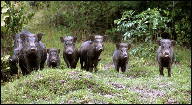 Lợn rừng tung hoành tại Mỹ