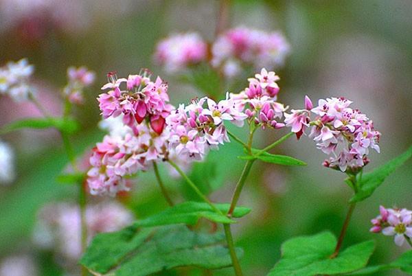 hoa tam giác mạch, Hà Giang, Lào Cai