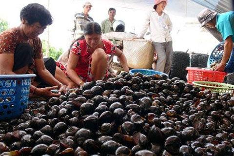 3kg thóc rẻ hơn 1kg ốc bươu: Nông dân bỏ ruộng