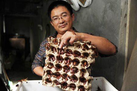 Phong trào nuôi gián sắp lan sang Việt Nam?