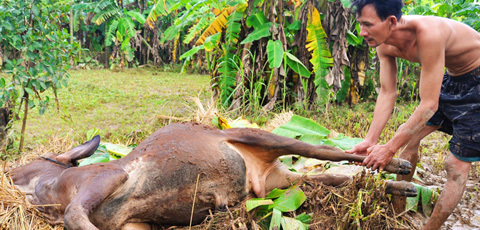 Người dân vùng lũ ăn bò chết thay cơm