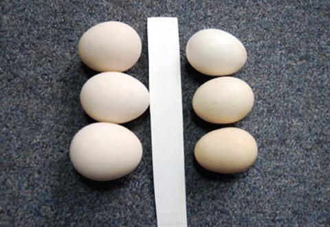 Trứng-gà, trứng gà, trứng gà ta, cách phân biệt trứng, gà-ta, mua-sắm, mua-bán, thịt-gà