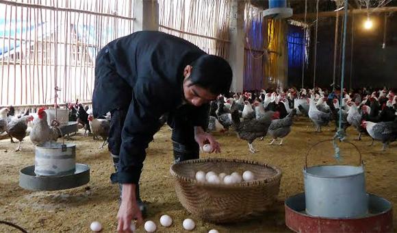Hết sốt giá đến 'khủng hoảng' thừa trứng gà
