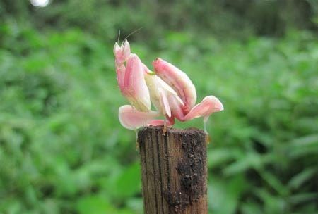 động vật, bọ ngựa hoa lan, rừng nhiệt đới, Đông Nam Á, hóa trang, bông hoa