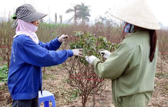 Đào nở sớm: Dân chơi khoái, người trồng khổ
